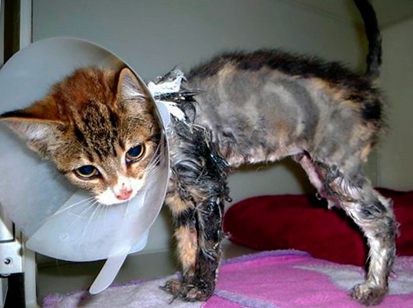 Si la colle touche les poils de votre animal, dans la plupart des cas, il ne reste plus qu'à la couper.