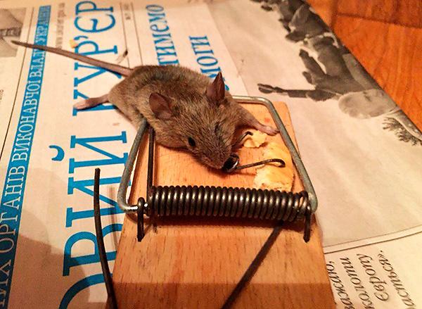 Les pièges à souris sont faciles à utiliser, peu coûteux et peuvent combattre efficacement les rongeurs.