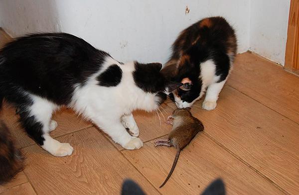 Les pièges à chats vous permettent généralement de vous débarrasser des rongeurs de manière fiable et d'oublier ce problème pendant longtemps.