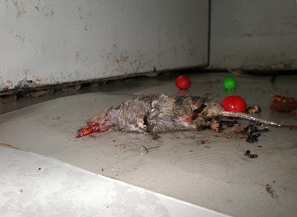 L'un des inconvénients importants de la colle de rats et de souris est que l'utilisation de cet outil est inhumaine par rapport aux rongeurs.