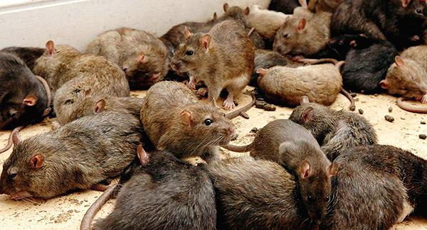 Les rats n'ont pas de chef de file prononcé dans la meute, il n'y a que quelques individus plus forts qui sont principalement impliqués dans la reproduction.