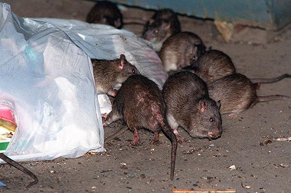Rencontrer le roi des rats au Moyen Âge était considéré comme un mauvais signe, porteur de malheur et de maladie.