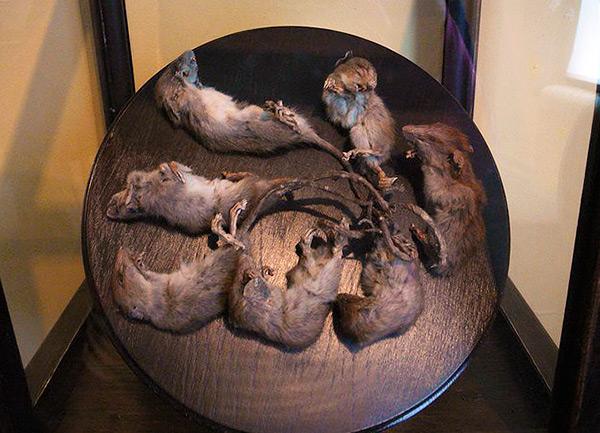 Un spécimen bien conservé du roi des rats, composé de 7 animaux (exposés dans l'un des musées).