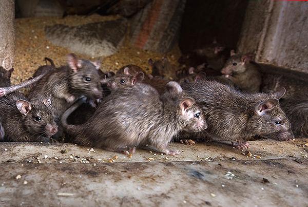 L'une des causes possibles du tissage de la queue de rat est l'exposition constante à la boue.