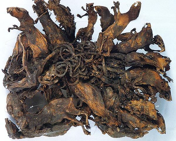Le plus grand des rois de rats connus, composé de 32 rats, se trouve au Musée de la nature naturelle Mauritianum (Altenburg, Allemagne).