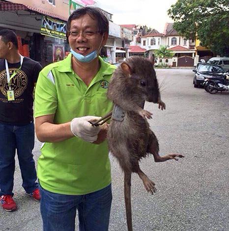 Nous découvrons quel rat est le plus grand du monde et à quel point ces créatures peuvent atteindre une taille énorme ...