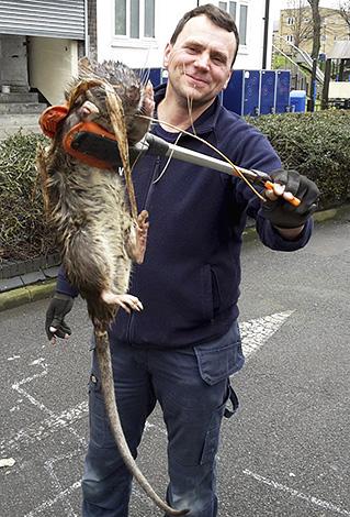 Un ingénieur londonien a découvert un rat géant pesant environ 11 kg.
