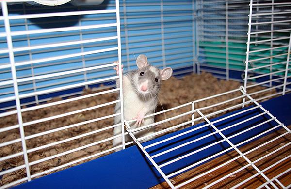 Les rats décoratifs ont pris une couleur claire à la suite de nombreuses expériences de sélection.