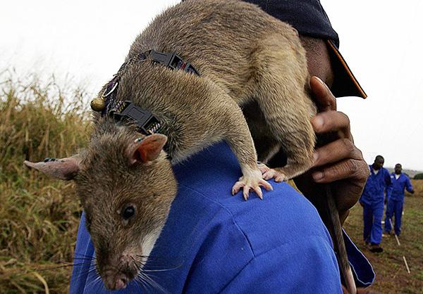 Le rat marsupial géant peut atteindre 90 cm de long et peser près de 1,5 kg.