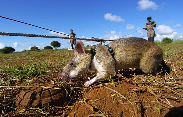Les rats marsupiaux gambiens ont un excellent sens de l'odorat, ce qui leur permet d'être utilisés pour la recherche de mines.