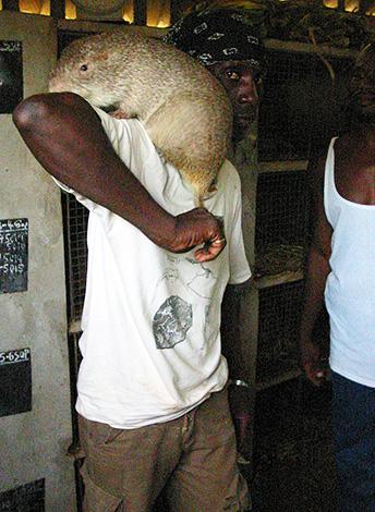 Un gros rateau peut atteindre une longueur de 61 cm et peser près de 6 kg.