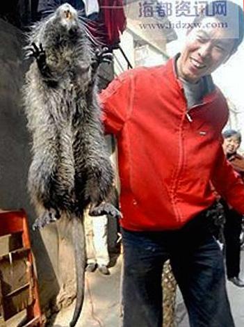 Un rat en bambou peut atteindre une longueur de 50 cm avec un poids de 4 kg et peut très bien passer dans la presse jaune en tant que rongeur géant pris en Chine.