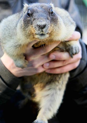 Marmot-baibak a une longueur de 70 cm et un poids allant jusqu'à 10 kg.