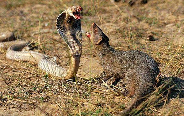 Bien que la mangouste présente certaines similitudes avec le rat, il est difficile de confondre ces animaux.