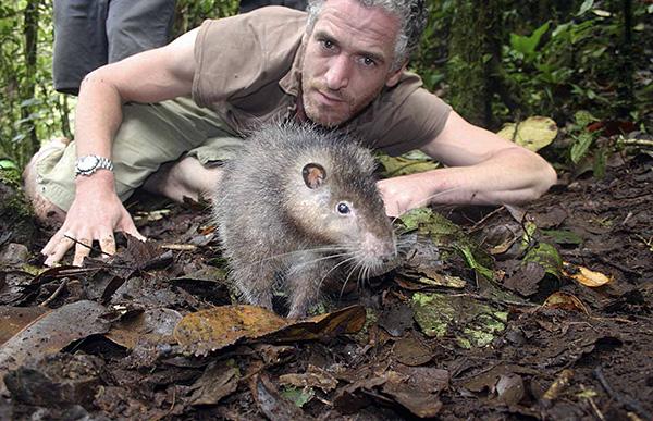 Le rat laineux de Bosawi n'a pas du tout peur des humains.