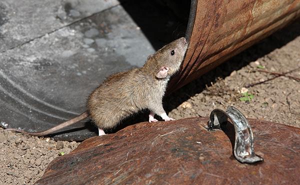 Le rat gris commun est la variété la plus commune de ces animaux et son corps peut atteindre 25 cm de long, et avec une queue - encore plus.