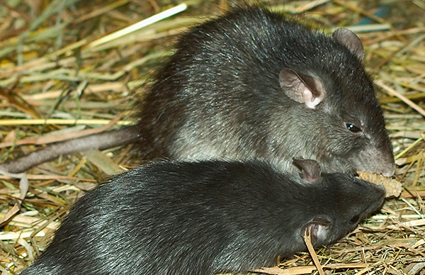 Un rat noir diffère d'un gris en petites tailles.