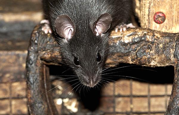 Parlons des caractéristiques intéressantes de la vie des rats noirs et de la relation de ces rongeurs avec la civilisation humaine ...
