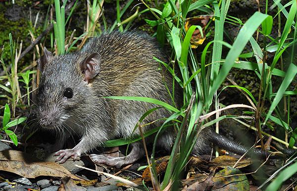 Les rats noirs préfèrent vivre séparément des humains si le climat leur est favorable.