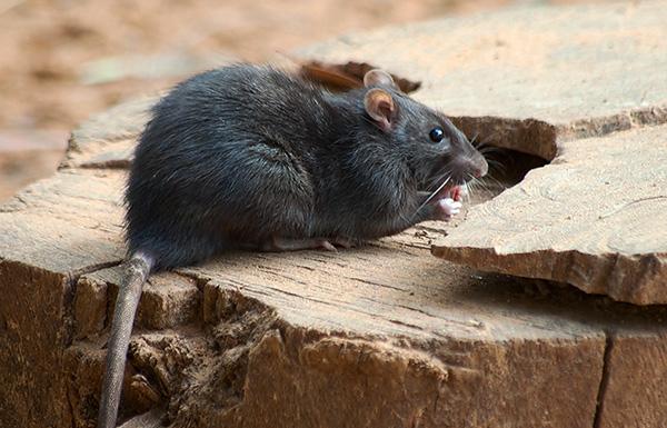 Manger des rats noirs est plus difficile que des rats gris, et choisit plus soigneusement leur régime alimentaire, en contournant souvent les appâts empoisonnés.