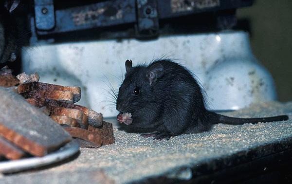 La photo montre un rat noir à un repas ...