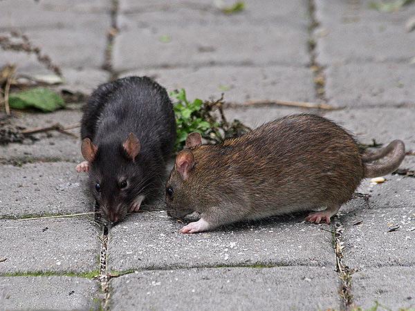 Des rats noirs et gris coexistent très paisiblement sur le même territoire, sans se montrer agressifs les uns envers les autres.