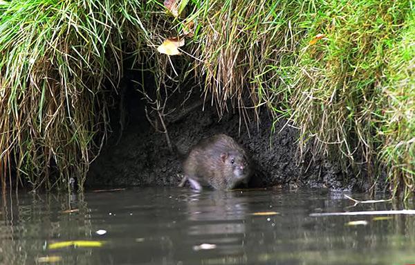 Dans un habitat naturel, les pasukas préfèrent s'installer près de l'eau.