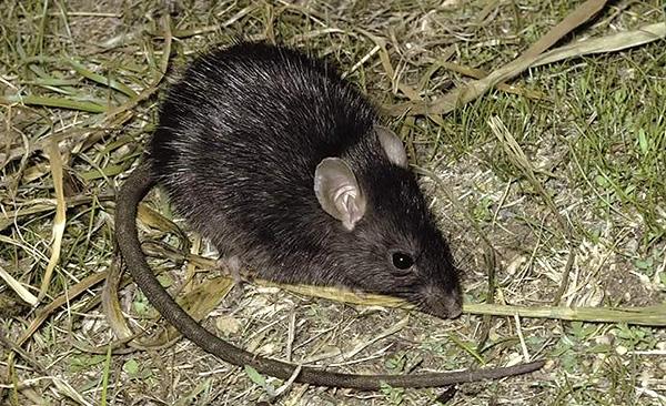 Le rat noir, dans son apparence, ressemble souvent à une grosse souris.