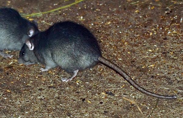 Dans la nature, les rats noirs vivent principalement dans des conditions sèches.
