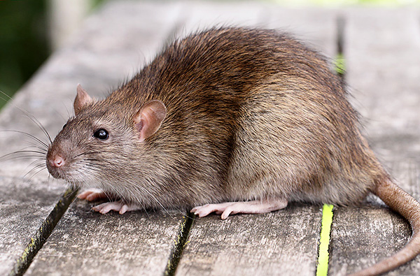 En moyenne, les rats gris (pasyuki) sont nettement plus grands que leurs homologues noirs.
