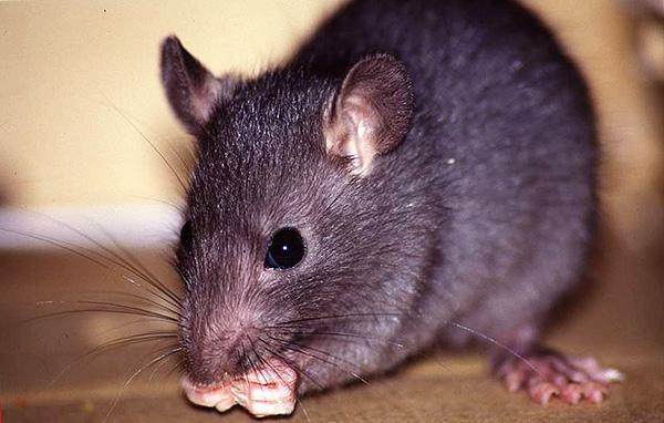 Le rat noir se distingue de son congénère gris par sa plus petite taille, son museau allongé et ses grandes oreilles, ce qui le fait généralement ressembler à une grosse souris.
