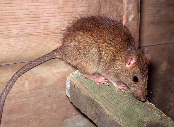 Parmi les rats noirs, il y a des individus avec des cheveux plus clairs - du brun au blond clair ...