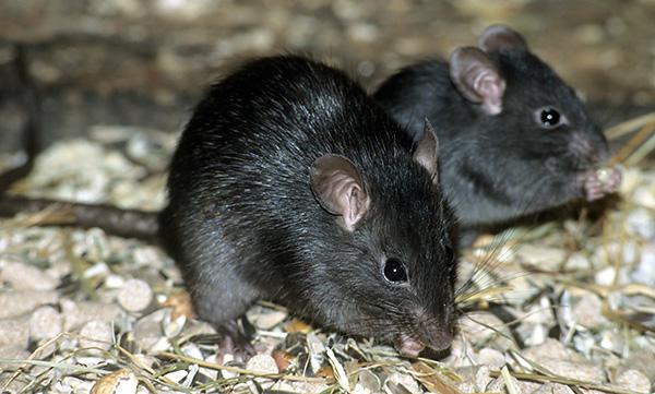 Les rats noirs sont divisés en 4 sous-espèces, extérieurement non différentes les unes des autres, mais qui se croisent mutuellement, produisent une progéniture moins prolifique.