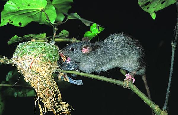 La photo montre comment un rat noir ruine un nid d'oiseau.