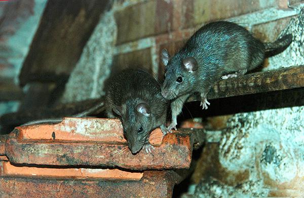 Ces animaux sont thermophiles et, en Russie, on ne les trouve presque jamais à l'extérieur du domicile d'une personne, alors que dans les conditions tropicales confortables, ils préfèrent la faune.