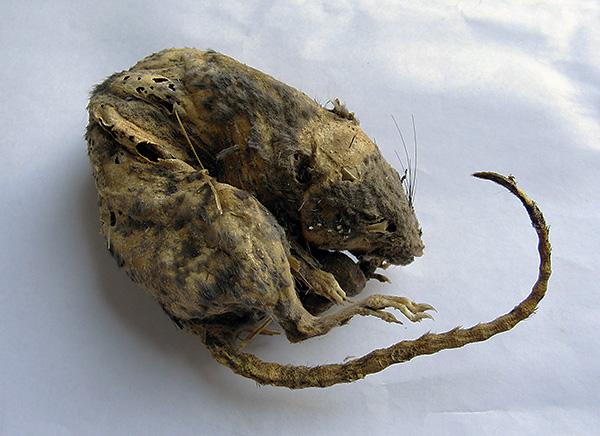 Lehet, hogy a Goliath kumulatív hatást gyakorol az elhullott patkányokra és egerekre, megakadályozva a bomlást és a rossz szagot? ..