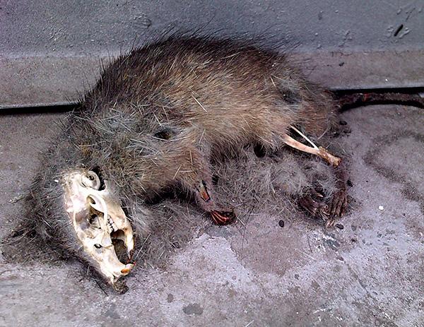 Nincs feltétele annak, hogy Goliath megállítsa a mérgezett patkányok holttesteinek lebontását.