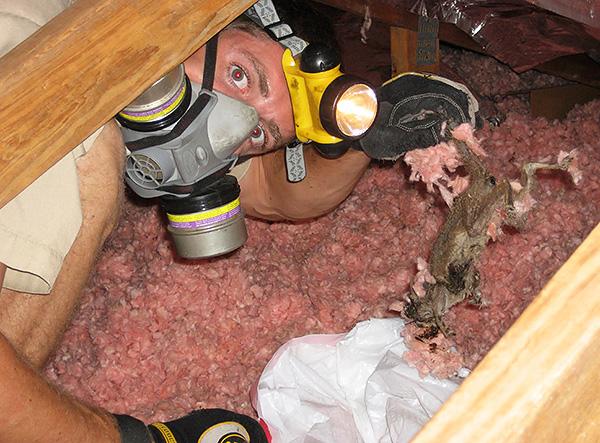 Az elhullott patkányok és egerek holttestei bomláskor erős hajtási szagot bocsátanak ki, de néha nagyon nehéz lehet őket megtalálni.