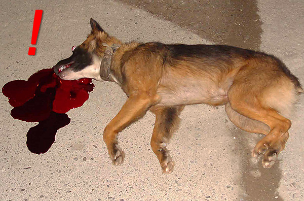 A kutyákra szánt flocumafen alapú készítmények még mérgezőbbek, mint a patkányok.