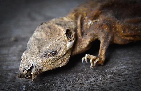 Voyons comment les soi-disant poisons momifiants, utilisés pour combattre les rats et les souris, travaillaient, et s'ils momifiaient réellement les cadavres de rongeurs ...