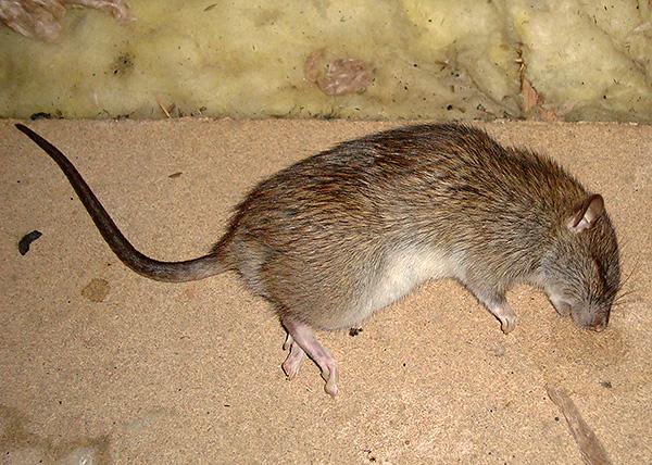 Malgré l'absence de l'effet momifiant déclaré, le poison pour rats et souris est surtout efficace en termes de destruction de rongeurs.