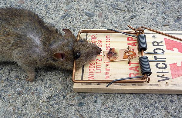 Un piège à souris simple est l'un des moyens les plus célèbres et les plus efficaces de lutter contre les rats et les souris.
