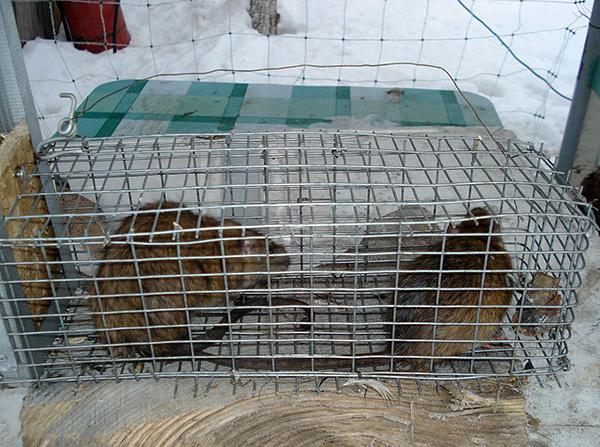 Avec l'aide d'une cage vivante, vous pouvez facilement attraper un rongeur, mais vous devez ensuite décider quoi en faire ...