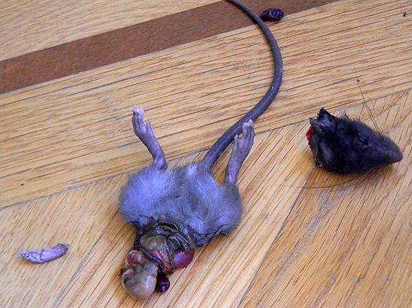 Les pièges à chats-rats et certaines races de chiens sont capables de détruire efficacement les rongeurs, mais laissent souvent des conséquences désagréables de leur lutte avec eux ...