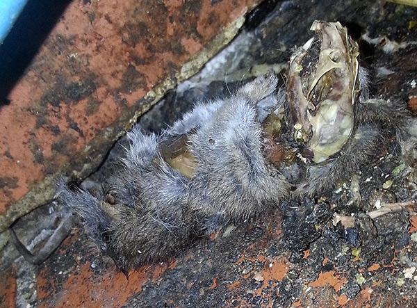 Les rongeurs peuvent mourir de poison pour rat dans un endroit inaccessible (derrière un mur, sous le sol) et peuvent causer de gros désagréments en raison d'une odeur de cadavre très désagréable.