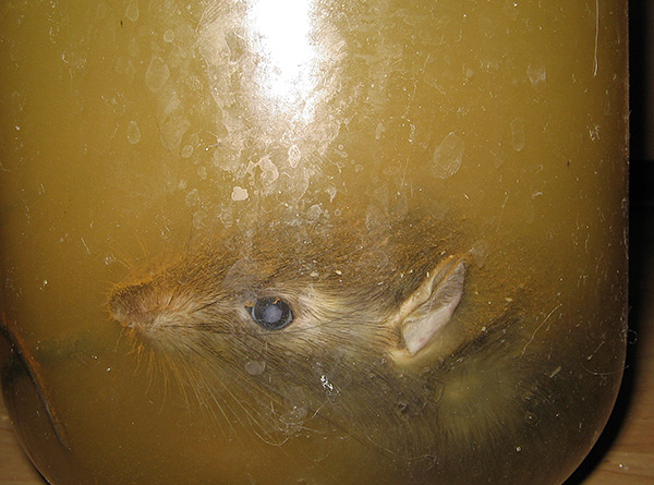 Afin d'empêcher la décomposition du cadavre d'un rat, celui-ci doit être littéralement complètement trempé dans une solution spéciale.