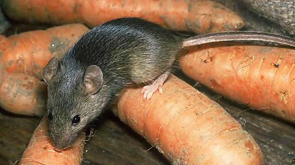 A patkányok és egerek képesek megszokni az ultrahangot, ha hosszú ideig rájuk hatnak.