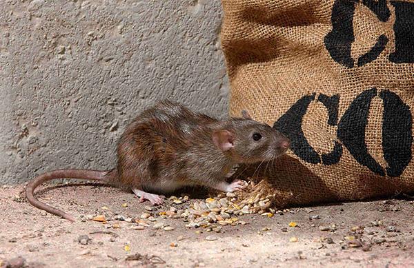 Lássuk, hogyan sikerült a szürke patkányoknak (pasyuki) a bolygó egyik legszámszerűbb emlősévé válni.