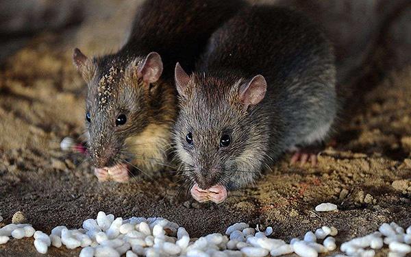 A szürke patkányok a legjobban alkalmazkodnak a környezeti feltételekhez ...