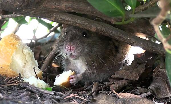 A szürke patkányok szinte bármit enhetnek, bár kedvező körülmények között étrendjük alapja a növényi étel.